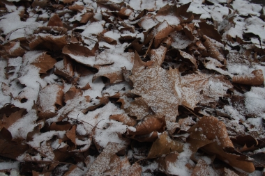 Brown leafs in the snow...